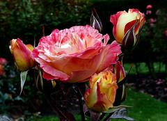 Roses Roses..