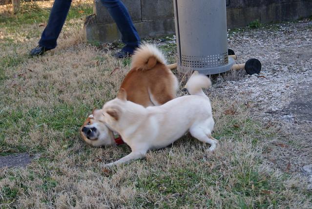 Shiba wrestling