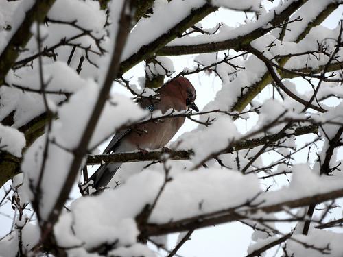 Eichelhäher (Garrulus glandarius) im Winter