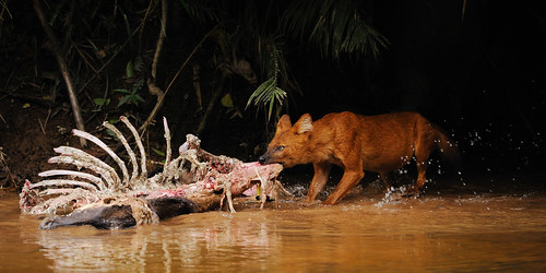 Dhole, Cuon alpinus on Sambar deer kill in Khao Yai national park