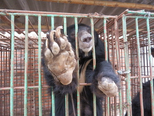A bear with a missing limb at Cau Trang bear farm