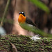 West African Forest Robin (Alan Hayden)
