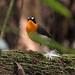 West African Forest Robin (Alan Hayden)