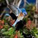Western Bluebird by gpfhoto