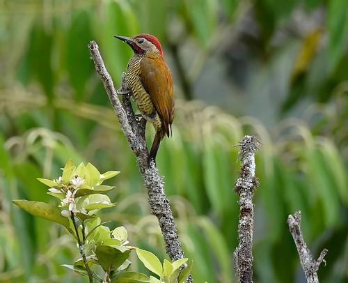 male woodpecker goldenolive colaptesrubiginosus