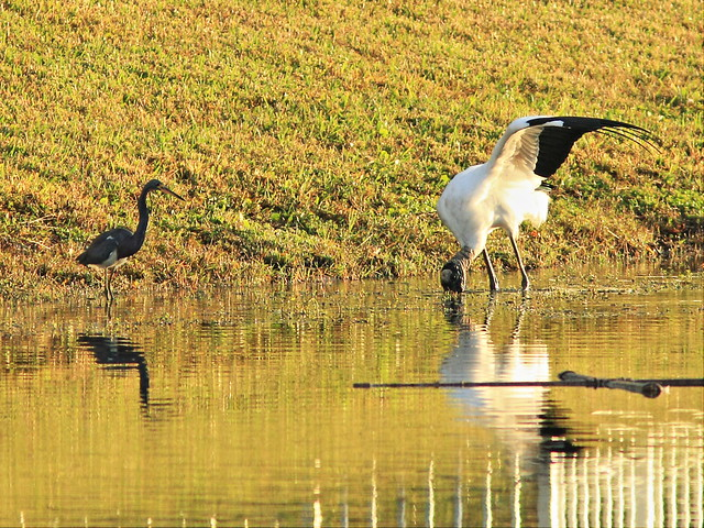 Tricolored Heron and Wood Stork 3-20141229