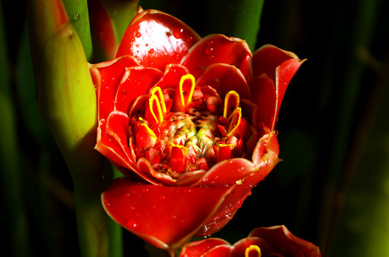 Torch Ginger dramatic Domain 25 12 14 K54584