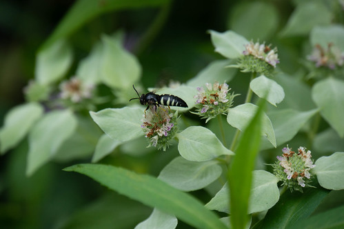 09254 Sand Wasp