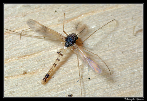 Chironomidae mâle (Tanypodinae/Pentaneurini) - Zavrelimyia nubila ?