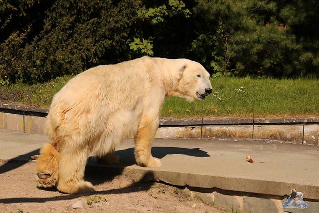 Eisbär Fiete im Zoo Rostock 07.05.2016  0345