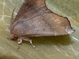 white tip tan and brown owlet moth Noctuidae Airlie Beach P1100101