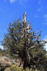 Bristlecone Pine Forest, October 2016