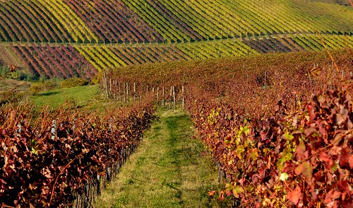 autumn italy vineyard colorful italia wine hill foliage rows romagna sangiovese bertinoro