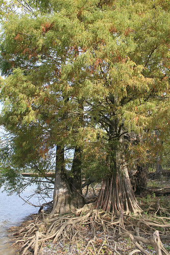 Baldcypress, Taxodium distichum