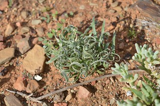 Gethyllis villosa ゲチリス ヴィローサ