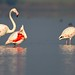 Greater Flamingo by siddhesh_p