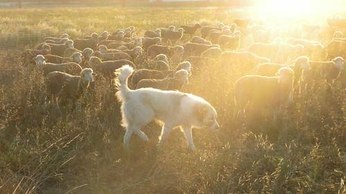 Les chiens du berger !
