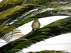 warbler in palm