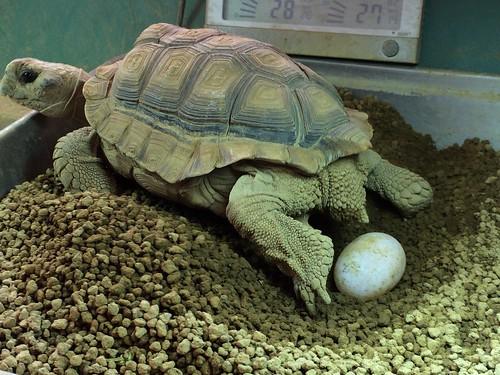 ペトラ産卵