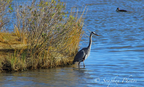 """Great Blue Heron at ""the brig"""""