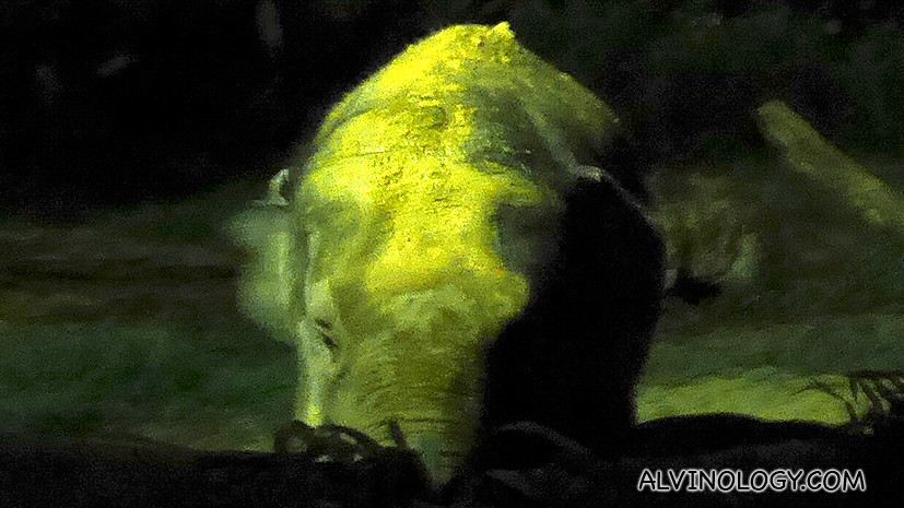 Chawang the wild adult male elephant at Night Safari