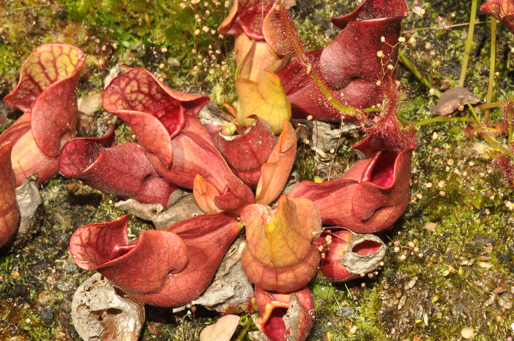 Sarracenia rosea, Gotcha Plants clone