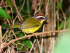 Pula-pula-de-capuz-vermelho // Reinita Gorricastaña // Rufous-capped Warbler