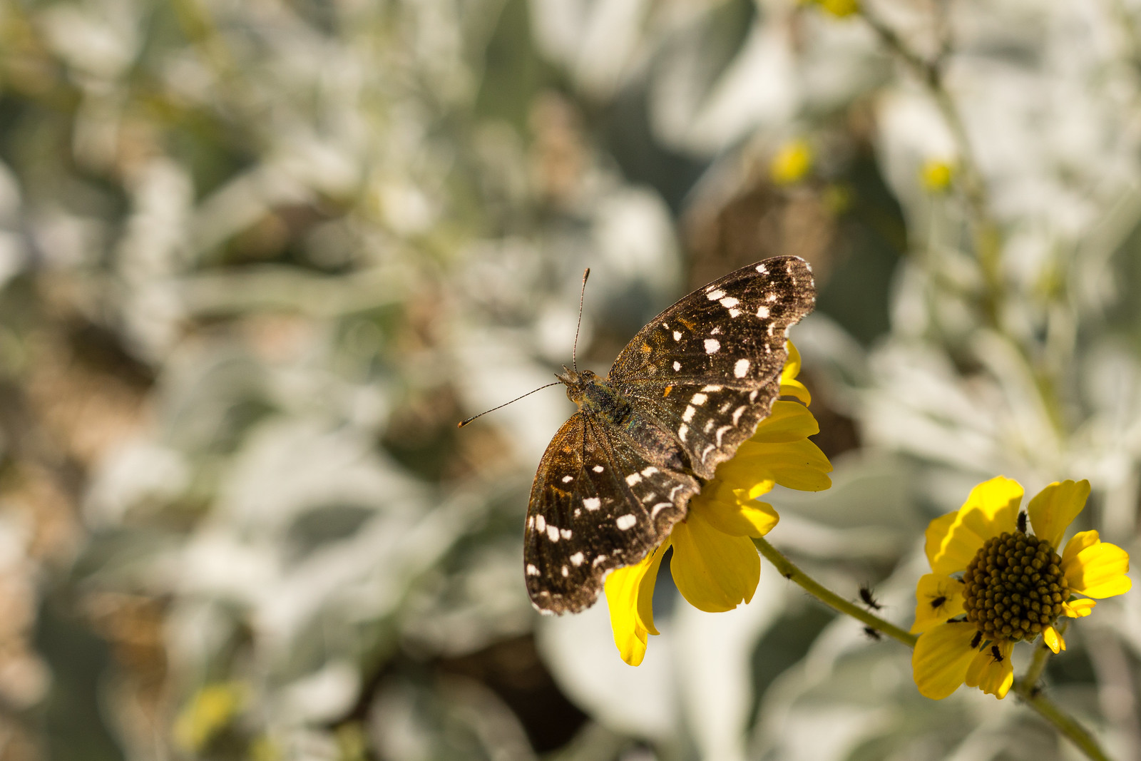 1412 Butterfly near the La Milagrosa Trail