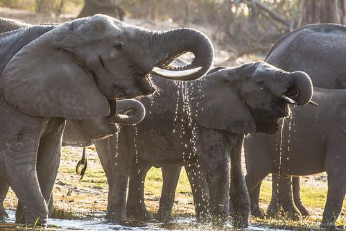 An Elephant Filling Station #2