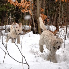 What's better than a walk in the #forest with one #standardpoodle #puppy ? A walk with TWO!!🐾💕 #Conan #Zena #16weeksold