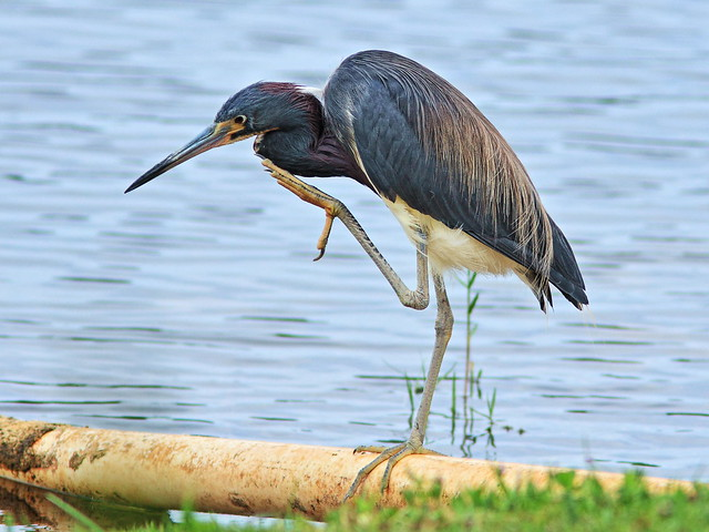 Tricolored Heron 05-20160519