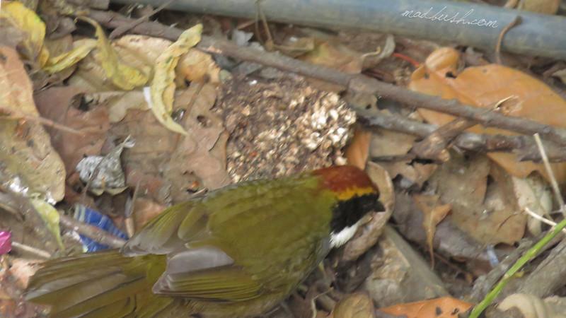 Collared Towhee (Pipilo ocai) San Jose del Pacifico, Oaxaca