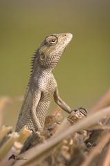 Gerden Lizard