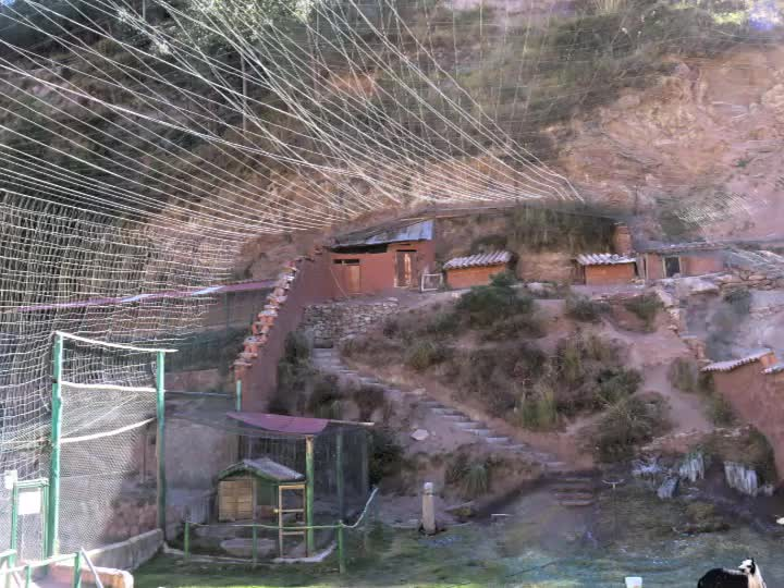 Condors Sacred Valley -Peru