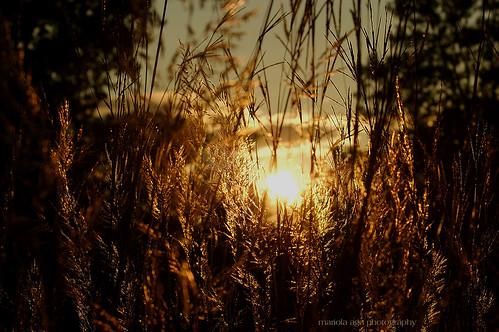 park trees light sunset summer sun sunlight grass silhouette backlight evening bokeh meadow thegalaxy goldentones springvalleynaturesanctuary