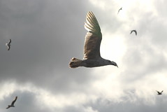 seagull (7)