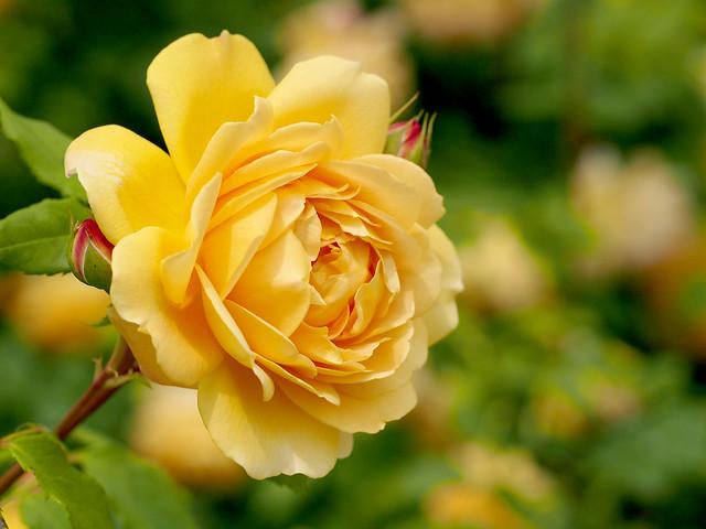 rose golden celebration flickr. Black Bedroom Furniture Sets. Home Design Ideas