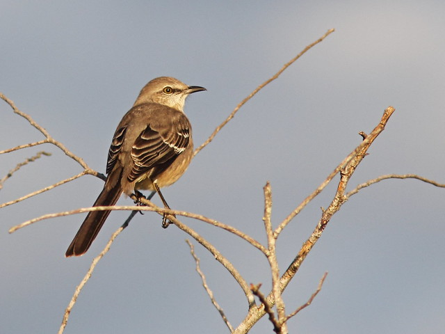 Northern Mockingbird 20141027