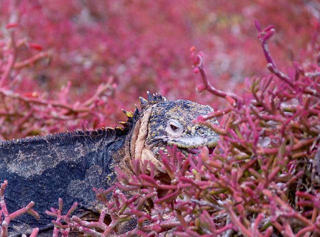 Iguana terrestre en isla Plaza Sur (Galápagos)