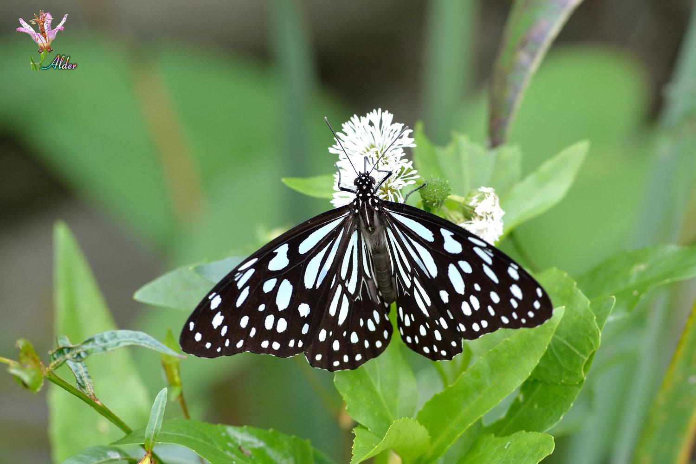 Butterfly_9087