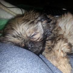 So hard to work with this much cute!!  #dog #shihtzu #pet #pets #dogoftheday #shihtzulovers #mydog #shihtzusofinstagram #instadog #instagramdogs #dogphotography #dogsagram #puppy #dogsofinstagram #ilovemyshihtzu #shihtzunation #instacute #dogoftheday #pup