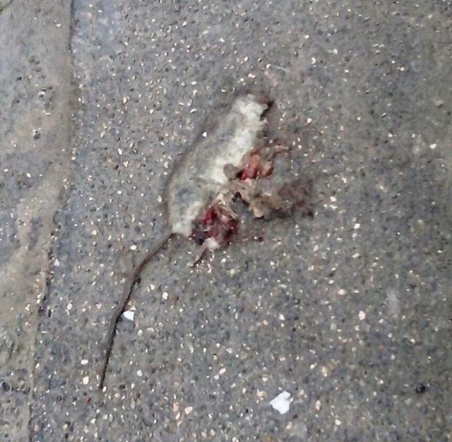 Noicattaro. Topo morto in via Siciliano intero