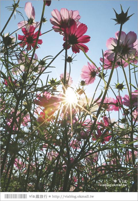 【南新彩繪村】彰化埔鹽/南新立體彩繪村~隱藏版的花海圍繞整村,美景如畫!34