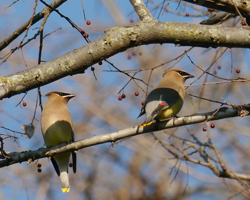 Cedar Waxwings and Hackberries - 2