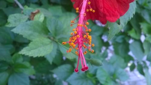 red india flower green 520 sudhir lumia bulandshahr