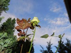 Rózsa télen