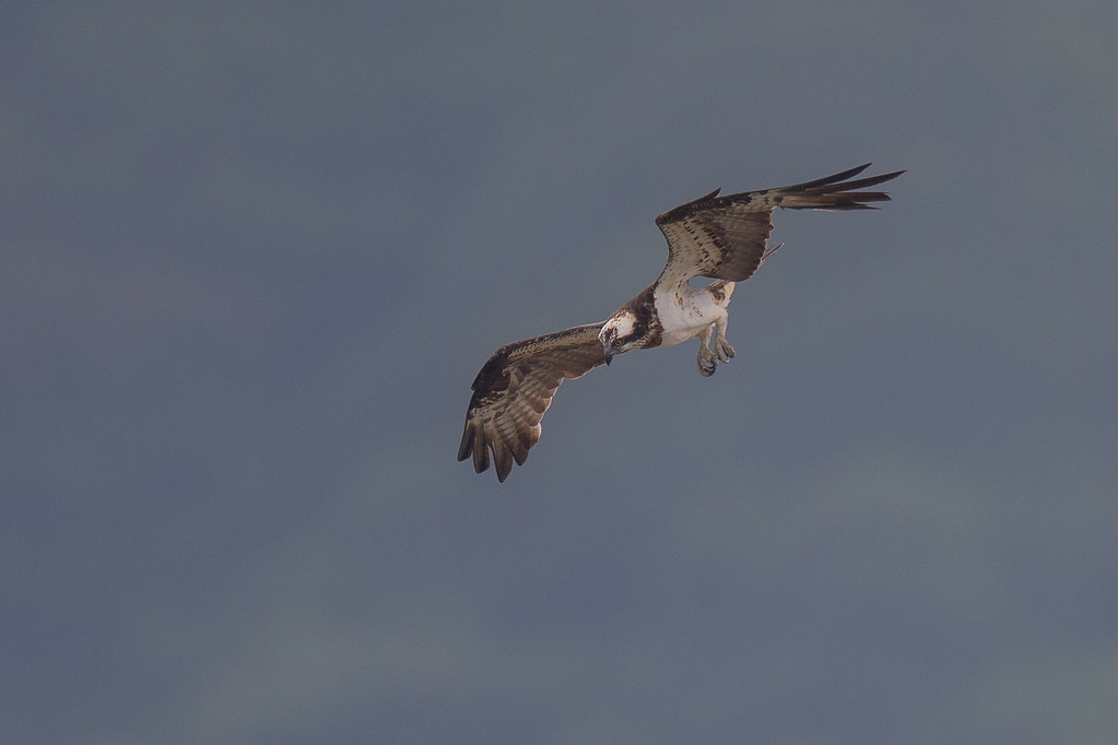 魚鷹-0920