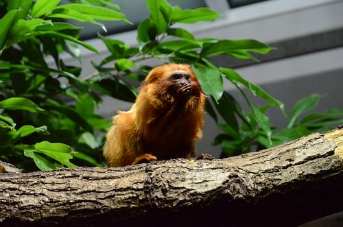 Affe im Züricher Zoo