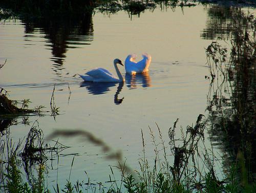 sunset grass birds landscape swan poland polska backwater trawa ptaki krajobraz zmierzch łabędź światłocień rozlewisko coloursofwater chairscuro barwywody