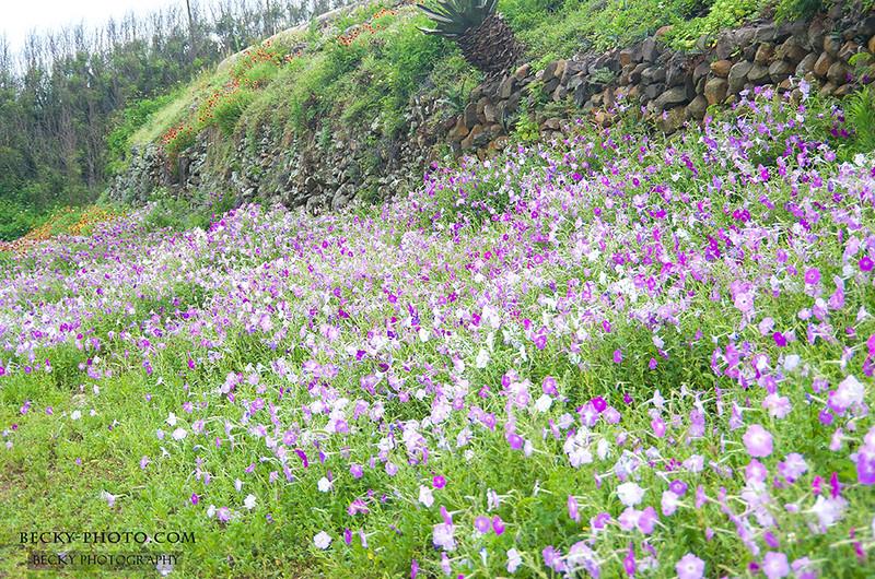 2016.May 澎湖植物馬鞍藤